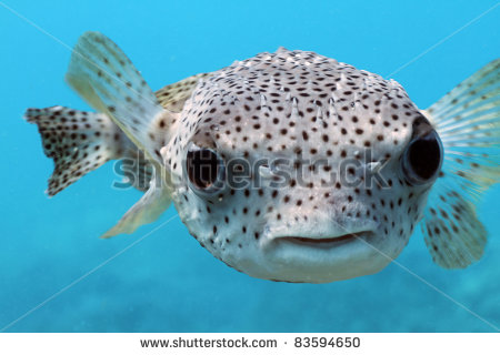 stock-photo-giant-porcupine-puffer-fish-83594650.jpg